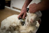 A competitor shearing a sheep during a competition in Alexandra, New Zealand, in 2011. New Zealand&#39;s economy grew at its fastest rate in five years in the March quarter, boosted by strong performances in the farming and manufacturing sectors, according to the latest data