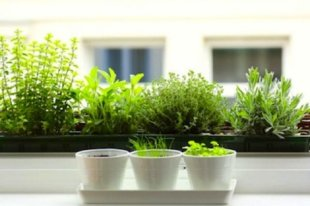 Herbs on the windowsill