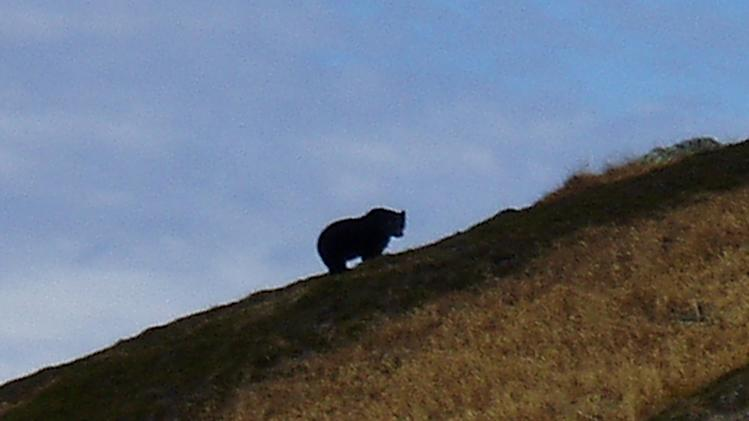 This Oct. 2010 photo provided by Joe Sebille shows a grizzly bear in Washington state's North Cascades. The U.S. Fish and Wildlife Service says a hiker's photo confirms a sighting of a grizzly bear in Washington state's North Cascades for the first time in perhaps half a century. (AP Photo/Joe Sebille)