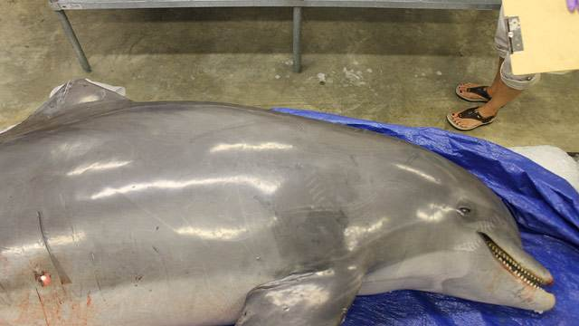 Dolphins Found Shot, Mutilated