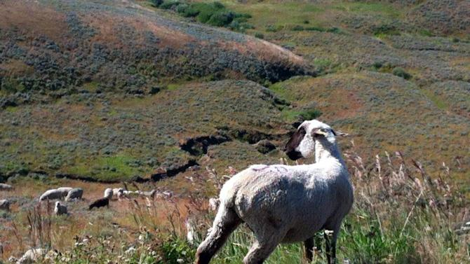 Lawsuit: Western sheep operators colluded against workers