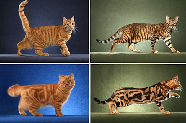 "This undated photo made available by Science magazine shows tabby cats with the mackerel pattern, top row, and blotched pattern, bottom row. Scientists say they've found the gene that sets the common tabby pattern - stripes or blotches. Cats with narrow stripes, the so-called ""mackerel'' pattern, have a working copy of the gene. But if a mutation turns the gene off, the cat ends up with the blotchy ""classic'' pattern, researchers reported online Thursday, Sept. 20, 2012 in the journal Science. (AP Photo/Science, Helmi Flick)"