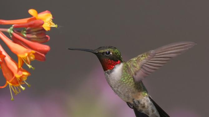 In this June 10, 2008 photo provided by Terry Sohl, a male Ruby-throated hummingbird feeds at a honeysuckle plant, in Brandon, S.D.   Ruby-throated hummingbirds are migrating to North America weeks earlier than in decades past, and research indicates that higher temperatures in their winter habitat may be the reason. Researchers say the early arrival could mean less food at nesting time for the tiny birds that feed on insect pests, help pollinate flowers and are popular with birdwatchers. (AP Photo/Terry Sohl)