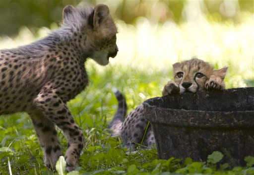 Two three-month-old cheetah cubs play over a container of water, while on public view at the National Zoo, in Washington, on Saturday, July 28, 2012. The cubs are trying out their first week on limited view to the public. (AP Photo/Jacquelyn Martin)