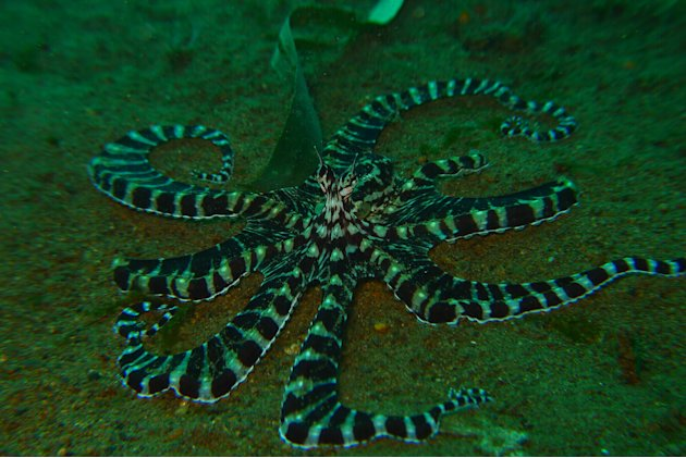 This gorgeous guy, photographed at Taken at Anilao, Philippines, is a Mimic Octopus. The octopus is one of the smartest marine animals around. This particular species will not only change its colours
