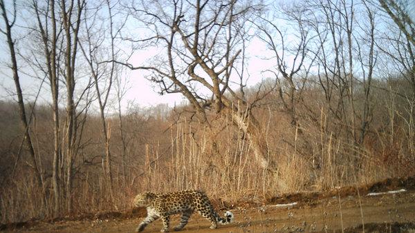 First Camera Trap Photos Taken of Rare Leopard in China