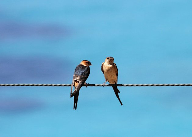 Birds perch on a wire at a …