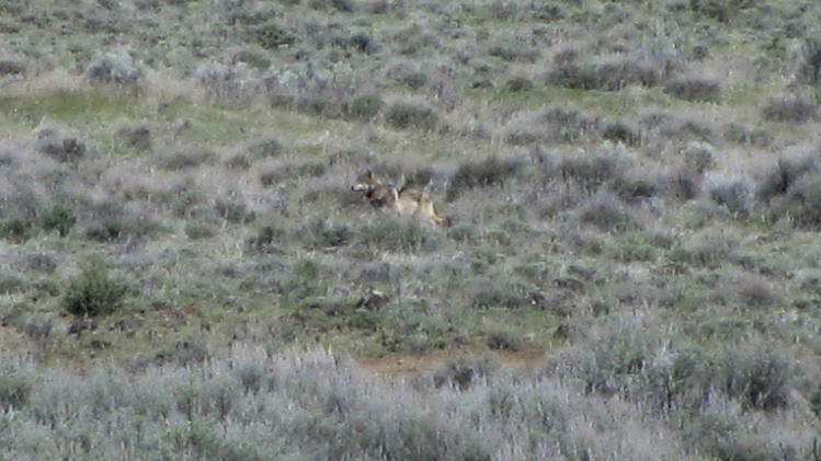 This May 8, 2012 photo provided by the California Department of Fish and Game shows OR-7, the Oregon wolf that has trekked across two states looking for a mate, on a sagebrush hillside in Modoc County, Calif. A California Department of Fish and Game biologist spotted the wolf and took this photo while out visiting ranchers in the area. (AP Photo/Richard Shinn/California Department of Fish and Game)