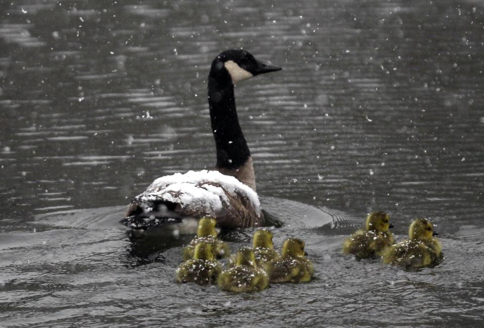 Canada geese and goslings travel in a spring snow in Pembroke, N.Y., Monday, April 23, 2012. (AP Photo/David Duprey)