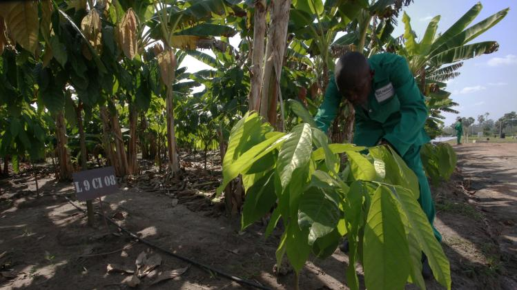 A man works at a cocoa plantation at the Zambakro Nestle Experimental Station in Yamoussoukro