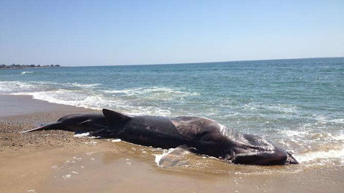 This photo provided by the Mystic Aquarium shows a 28-foot-long dead basking shark which was found washed ashore on a Rhode Island beach, Sunday, April 28, 2013. The Day of New London (Conn.) reports that a homeowner in the Misquamicut beach area of Westerly reported the shark to police on Sunday morning. (AP Photo/Mystic Aquarium)