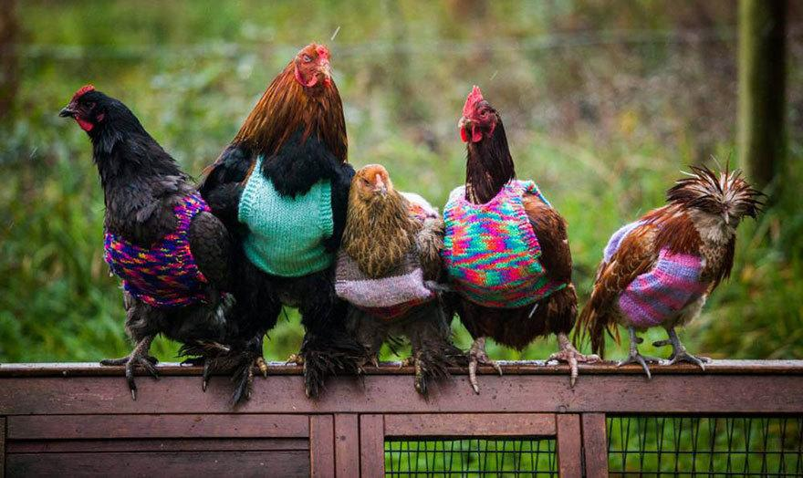 Heartwarming! 2 Women Knit Tiny Sweaters for Rescued Chickens to Keep Them Warm