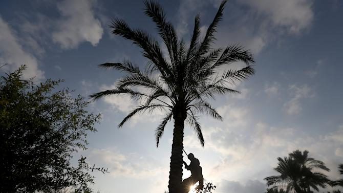 Palestinian farmer harvests dates from a palm tree in Khan Younis in the southern Gaza Strip