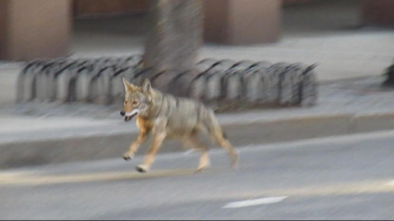 Wildlife Officials on High Alert for Coyote Attacks in Southern California