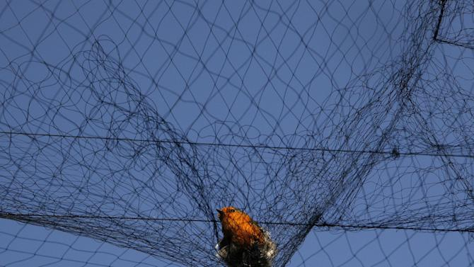 In this Nov. 3, 2012 photo, a bird is entangled in a net used by poachers to trap migrating songbirds in the early morning in the Larnaca district of Cyprus. Small birds, called ambelopoulia in Greek, are considered a delicacy in Cyprus and poachers supply a lucrative market. Amid an economic crisis that has seen unemployment hit record levels on the east Mediterranean island, jobless people are turning to poaching to help them make ends meet. (AP Photo/Petros Karadjias)
