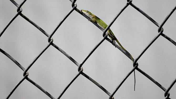 A lizard rests on a chain-link fence behind the first base dugout during a high school baseball game between the Gainesville Hurricanes and Buchholz Bobcats, Wednesday, March 4, 2015, in Gainesville, Fla. (AP Photo/The Gainesville Sun, Matt Stamey)  THE INDEPENDENT FLORIDA ALLIGATOR OUT