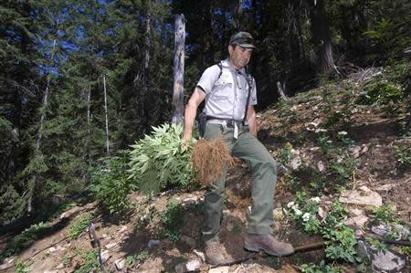 Handout of a park ranger helping eradicate a marijuana growing operation discovered in Cascade National Park in Diablo