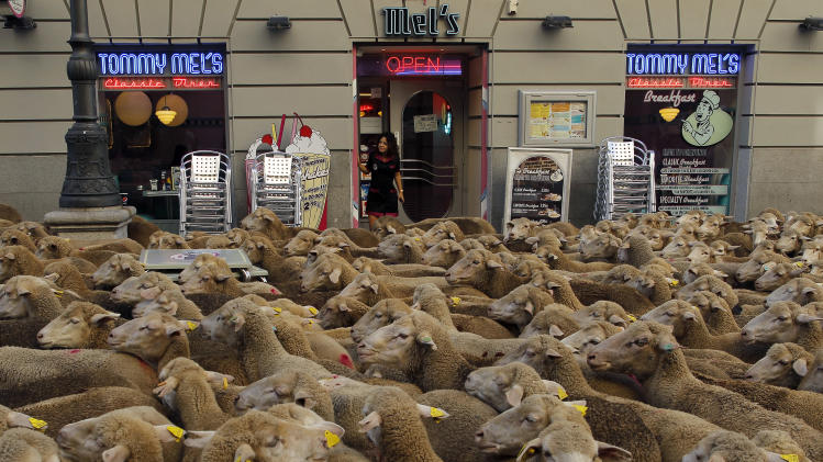 A waitress looks on from a shop as shepherds, unseen, lead their sheep through the centre of Madrid, Spain, Sunday, Oct. 6, 2012. Spanish shepherds led flocks of sheep through the streets of downtown Madrid in defense of ancient grazing, migration and droving rights threatened by urban sprawl and man-made frontiers. The rights to droving routes have existed since before Madrid grew from a rural hamlet to the great capital it is today. (AP Photo/Andres Kudacki)