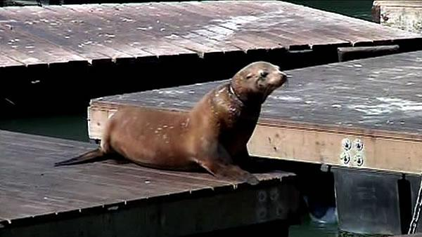 Entangled sea lion at Pier 39 captured
