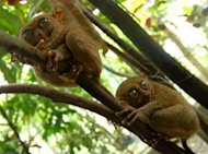 The Philippines government declared the tarsier a &quot;specially protected&quot; species in 1997, outlawing hunting of the animal, and effectively banning restaurants and souvenir shops from keeping them on display