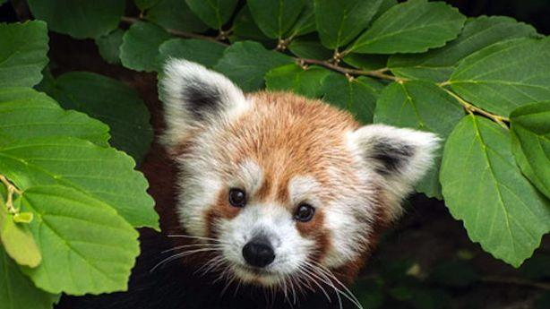 Rusty the Red Panda Is Missing from the National Zoo