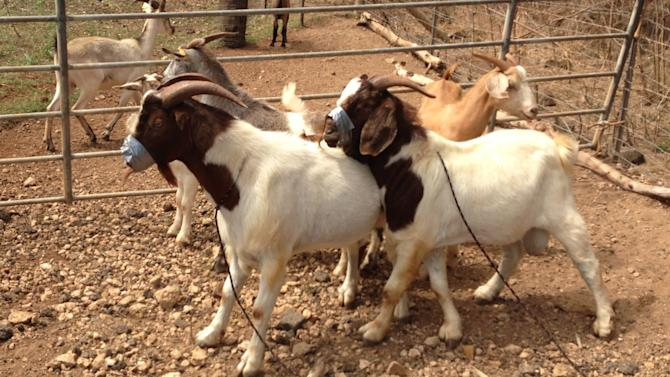 Hawaii man: Duct tape used in theft of 23 goats