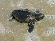 A baby loggerhead turtle makes its way to the ocean from the nest in this photo taken July 31, 2009, at the Cape Romain National Wildlife Refuge in South Carolina.