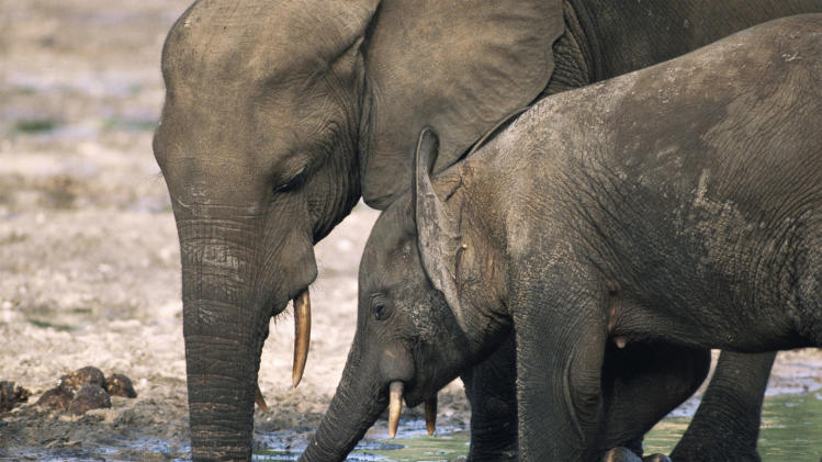 In this image dated 2006 released by WWF-Canon, showing an African forest elephant mother and calf as they drink water at a salt lick in a rainforest clearing, in the Dzanga-Sangha reserve, Central African Republic. Elephant meat is flooding food markets in villages near the famed wildlife reserve in Central African Republic one month after rebels believed to be involved in poaching overthrew the government, conservationists said Thursday, April 25, 2013. The Dzanga-Sangha reserve in the rainforests of southwestern Central African Republic has been home to more than 3,400 forest elephants. Now the political chaos unleashed by a rebellion that overthrew Central African Republic's president of a decade has enabled elephant poachers to further their slaughter.(AP Photo/James Aldred, WWF-Canon)