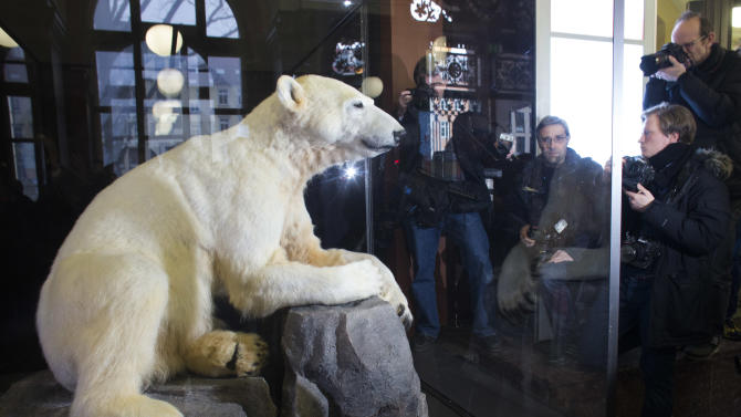 Late polar bear Knut is on display at the  Natural History Museum  in Berlin, Friday, Feb. 15, 2013. Adorable in life, still attracting admirers in death: Knut the polar bear's hide has been mounted on a polyurethane body and is going on display in a Berlin museum.  The Natural History Museum on Friday unveiled the statue prepared by taxidermists featuring the famous Berlin Zoo bear's fur and claws, with the synthetic body and glass eyes. Knut was hand-raised after his mother rejected him. He rose to stardom in 2007 as a cuddly cub, appearing on magazine covers, in a film and on mountains of merchandise. He died in 2011 after suffering from encephalitis.   (AP Photo/Markus Schreiber)