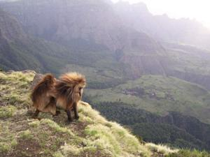 Gelada Baboons Keep Sexual Infidelity Hush-Hush