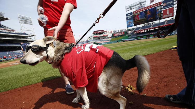 A dog pauses to relieve himself on the field wearing Washington Nationals apparel during the pups in the park parade before a baseball game between the Washington Nationals and the St. Louis Cardinals at Nationals Park Saturday, April 19, 2014, in Washington. The event benefits the Washington Humane Society. (AP Photo/Alex Brandon)