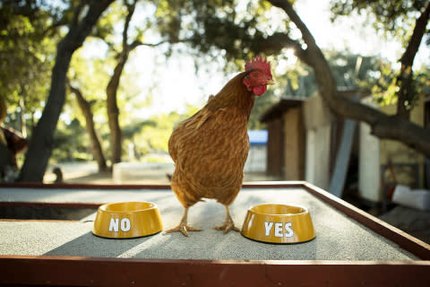 Is a Chicken in Charge of BURGER KING® Restaurants?
