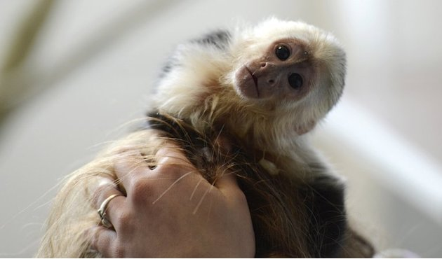 "Justin Bieber's pet Capuchin monkey ""Mally"" is seen in a home for animals in Munich, southern Germany, on April 2, 2013"
