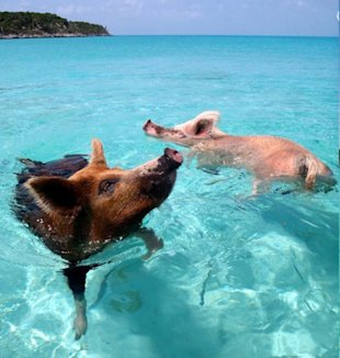 Pigs enjoy a swim at the island