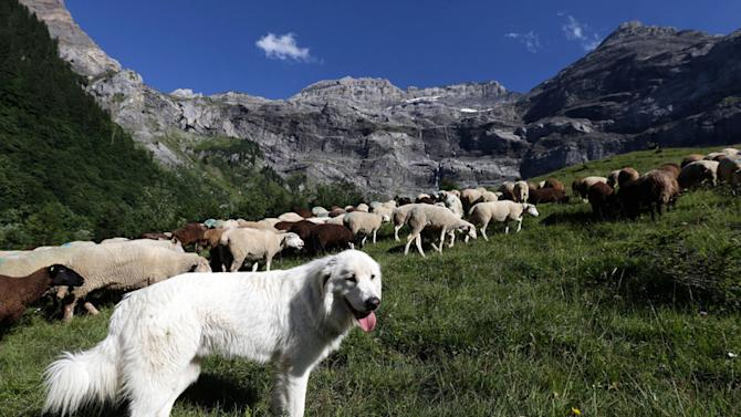 A Great Pyrenees dog surveys a flock of sheep near Les Diablerets July 31, 2012. Swiss farmers use Great Pyrenees dogs to protect their cattle from wolves. In early 2012, the Swiss Federal Office for Environment counted five wolves have entered the country out of the 70 to 200 that live in France and Italy. Picture taken July 31, 2012A Great Pyrenees dog surveys a flock of sheep near Les Diablerets July 31, 2012. Swiss farmers use Great Pyrenees dogs to protect their cattle from wolves. In early 2012, the Swiss Federal Office for Environment counted five wolves have entered the country out of the 70 to 200 that live in France and Italy. Picture taken July 31, 2012A Great Pyrenees dog surveys a flock of sheep near Les Diablerets July 31, 2012. Swiss farmers use Great Pyrenees dogs to protect their cattle from wolves. In early 2012, the Swiss Federal Office for Environment counted five wolves have entered the country out of the 70 to 200 that live in France and Italy. Picture taken July 31, 2012
