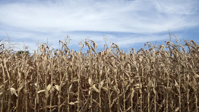 This photo from July 31, 2012 shows dried corn plants in Yutan, Neb. The latest U.S. Drought Monitor survey shows an increase in extreme drought conditions in four Plains states but a slight decrease in the overall area of the lower 48 states experiencing some form of drought. (AP Photo/Nati Harnik)