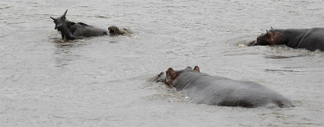 The hippo in the water