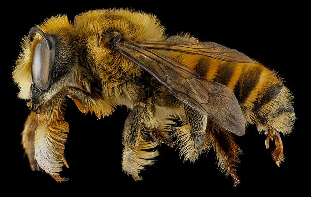 Megachile fortis. Photo by Sam Droege