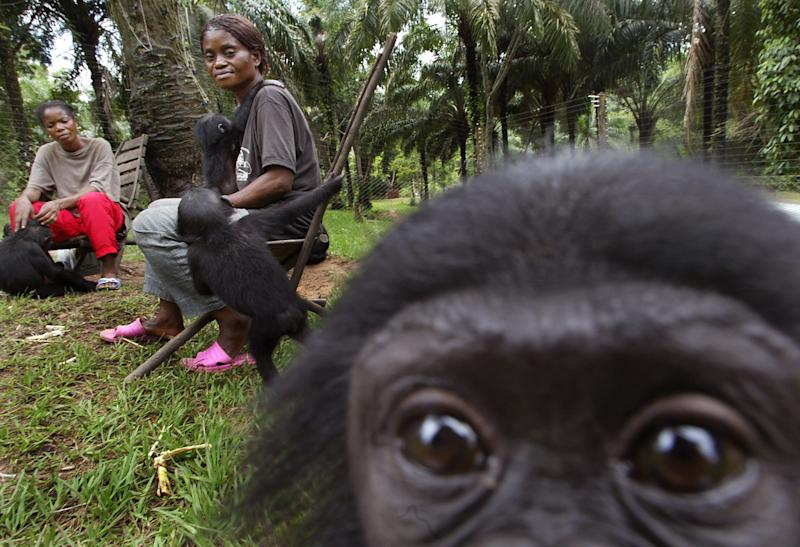 Chimps, gorillas, other apes being lost to trade