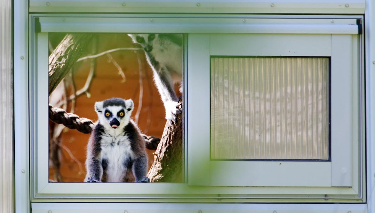 A ring-tailed lemur looks out of a window towards a new outdoor enclosure at the Darwineum department of the zoo in Rostock, northeastern Germany, on May 15, 2013.      AFP PHOTO / BERND WUESTNECK