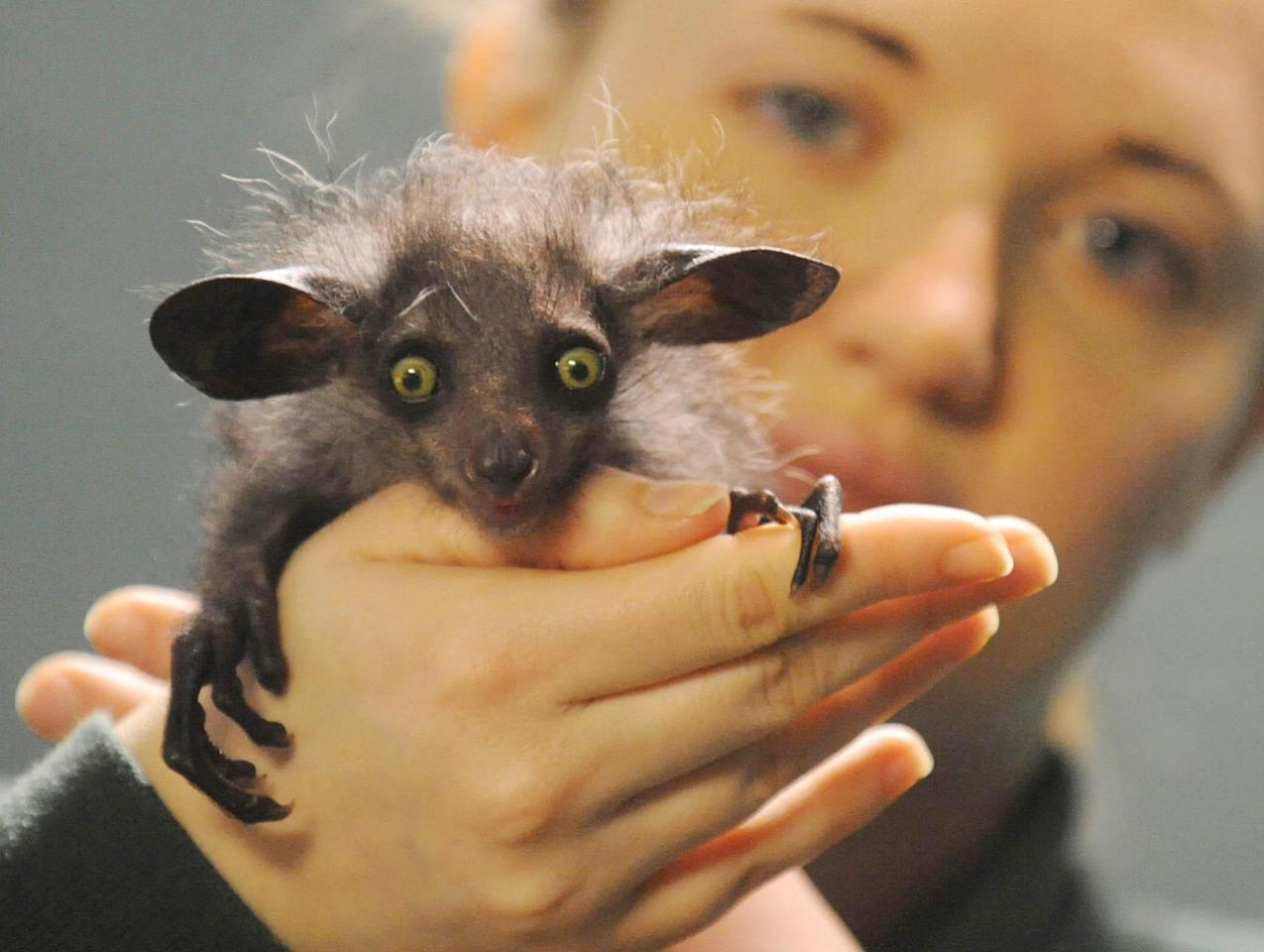 """Overseer of small mammals at Bristol Zoo Gardens Caroline Brown with the young aye aye named """"Raz"""", (Daubentonia madagascariensis) in Bristol Zoo in Bristol, England, Wednesday Jan. 9, 2007. The aye aye is only the second of his species to be born in Britain. The rare species of lemur, hunted to near-extinction and seen as a bad omen in its native Madagascar, has been born at the Zoo.  (AP Photo/ Barry Batchelor"""