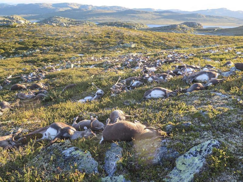 Lightning kills more than 300 reindeer in Norway