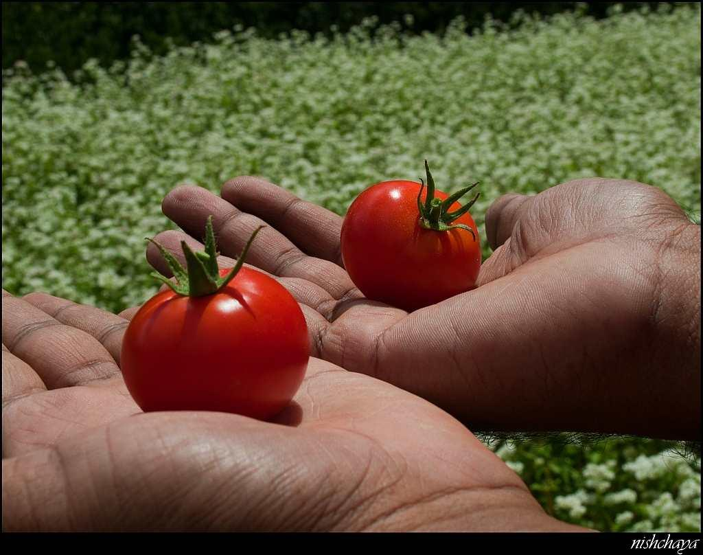 Luscious sun-ripened tomatoes – unquestionably organic!