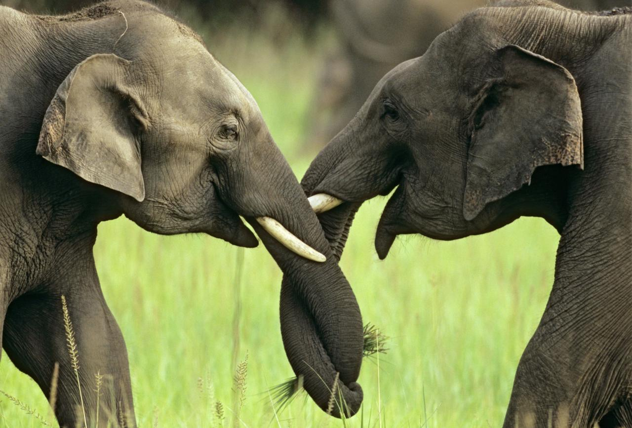 ** MANDATORY BYLINE ** PIC BY JAGDEEP RAJPUT / ARDEA / CATERS NEWS - (Pictured Indian elephants crossing trunks) - From a loving look to an affectionate nuzzle, these are the charming images of cute creatures cosying up for Valentines Day. And as the heart-warming pictures show the animal kingdom can be just as romantic as us humans when it comes to celebrating the big day. SEE CATERS COPY.