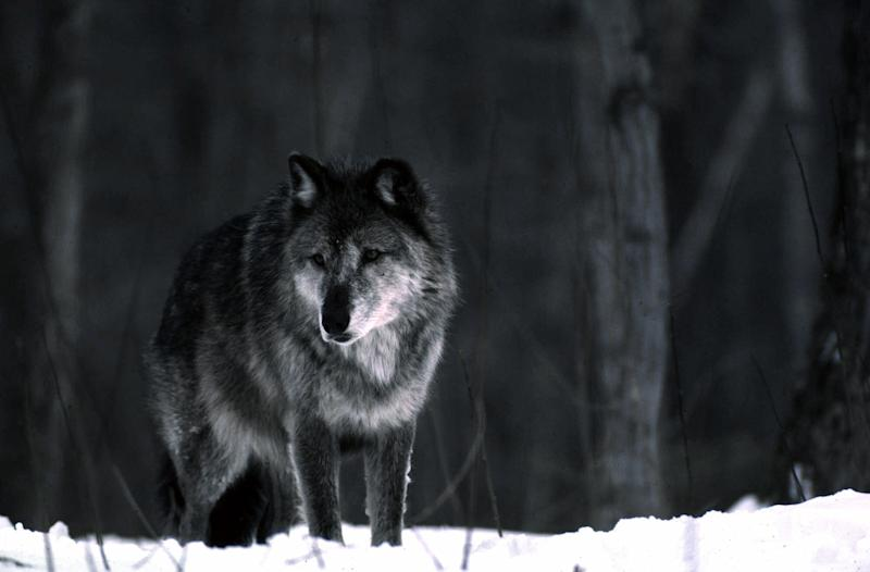 Mich. governor OKs bill that could allow wolf hunt