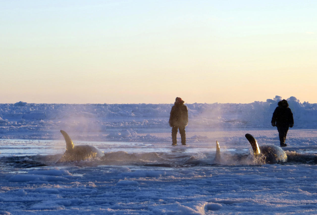 In this Tuesday, Jan. 8, 2013 photo provided by Marina Lacasse, killer whales surface through a small hole in the ice near Inukjuak, in Northern Quebec. Mayor Peter Inukpuk urged the Canadian government Wednesday to send an icebreaker as soon as possible to crack open the ice and help the pod of about a dozen trapped orcas find open water. The Department of Fisheries and Oceans said it is sending officials to assess the situation. (AP Photo/The Canadian Press, Marina Lacasse) MANDATORY CREDIT