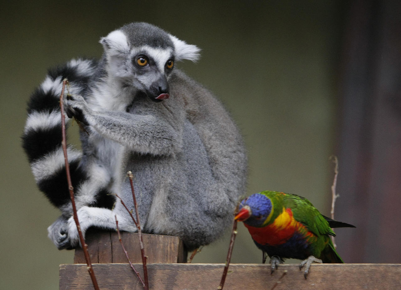 A Ring-tailed Lemur (Lemur catta) and parrot are seen in their enclosure at the Hagenbeck Zoo in Hamburg