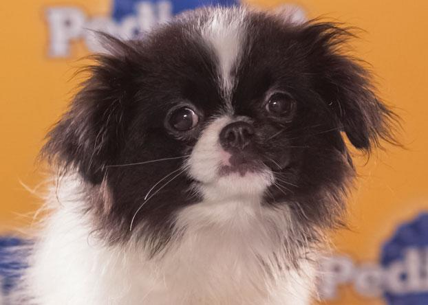 """Nala, an 8-week-old Japanese chin, is described as """"sweet and sassy,"""" but she can also be very fierce with her brother Simba. (Photo by Keith Barraclough/DCL)"""