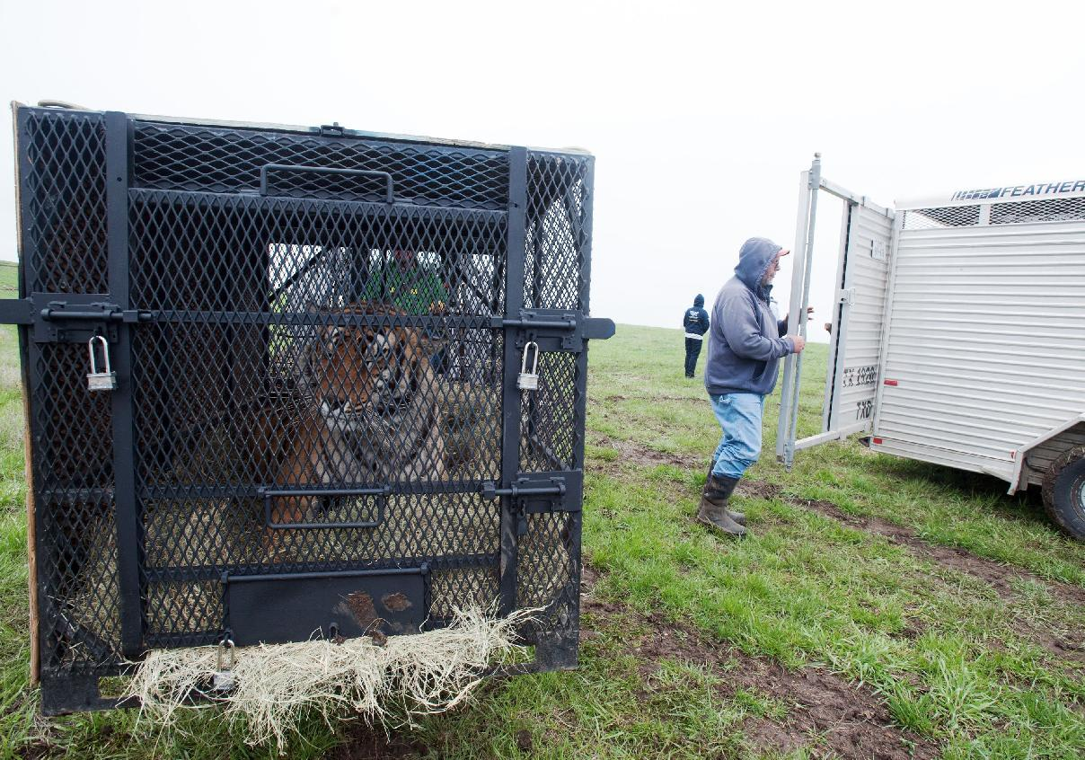 In this May 5, 2013, photo provided by the Humane Society of the United States a tiger awaits transport after it was seized from a menagerie of wild cats in Atchison, Kan. Authorities said one tiger, two cougars, three bobcats, two lynx, one serval and two skunks, living in inadequate enclosures and were infrequently fed, were seized and a man is in custody. (AP Photo/HSUS, Kathy Milani)