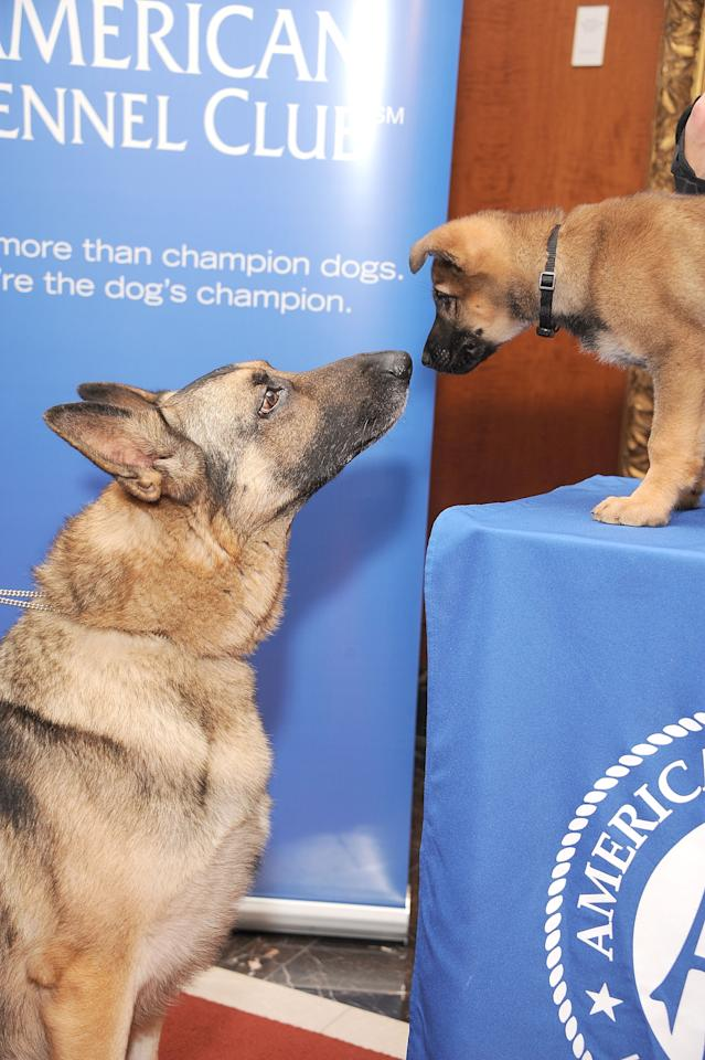 NEW YORK, NY - JANUARY 30:  Two German Shepherds, Commander (L) and Tsunami pose for pictures as the American Kennel Club Announces Most Popular Dogs in the U.S. on January 30, 2013 in New York City.  (Photo by Gary Gershoff/Getty Images for the American Kennel Club)